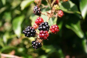 Blackberries: The Taste of Summer